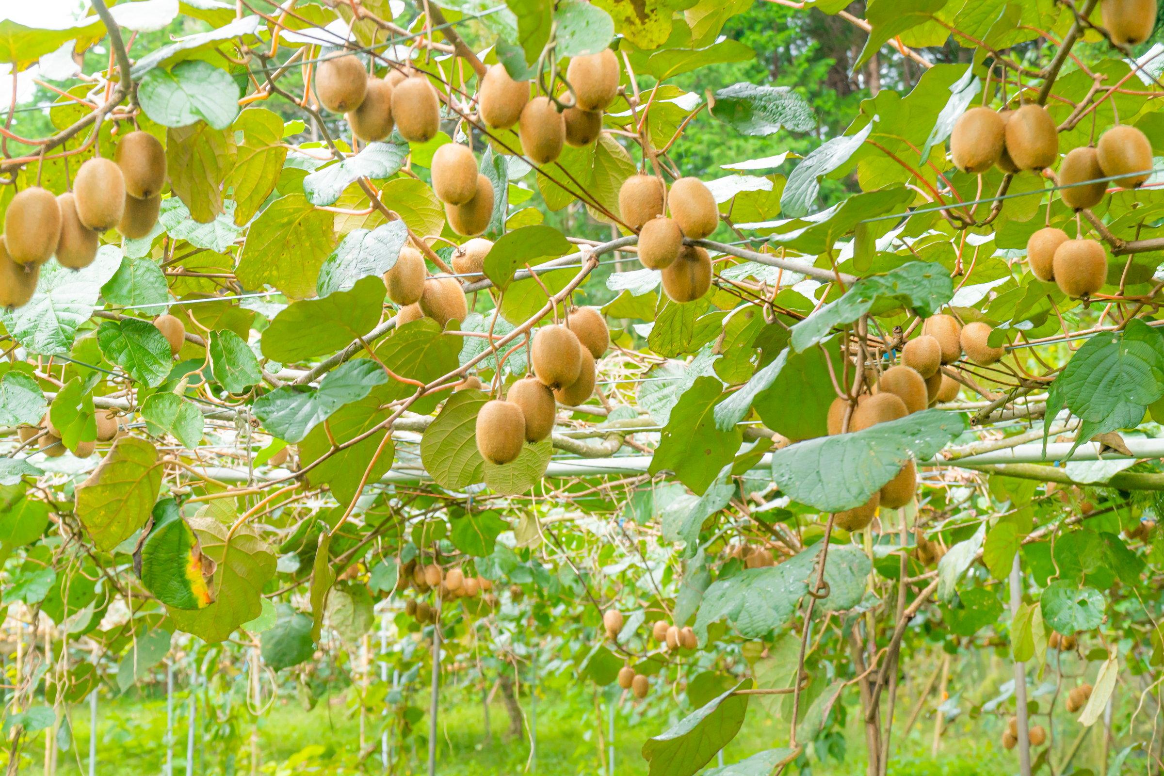 旬の時期は収穫体験もできます